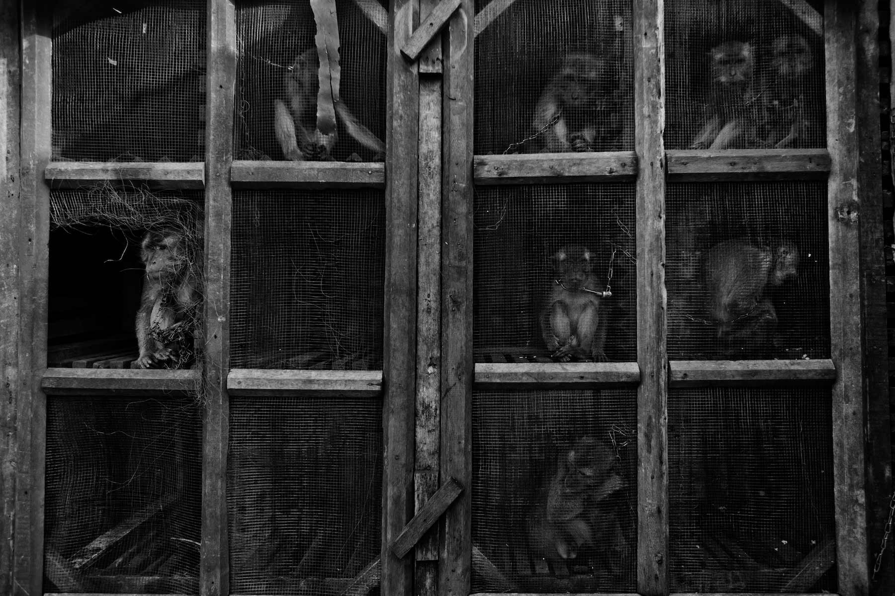 performing monkeys sit in cage urban village Jakarta, Indonesia