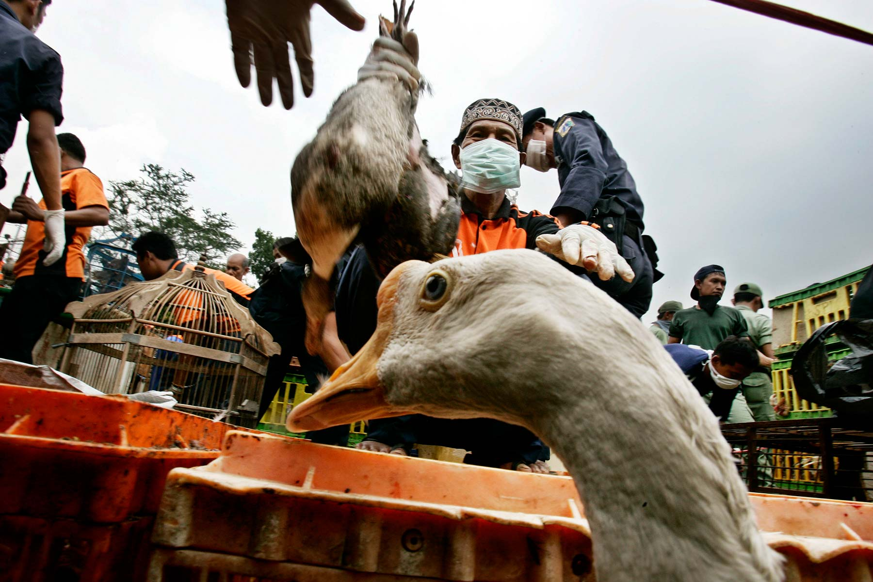 Indonesia Health Officials collect poultry after bird flue outbreak in Jakarta